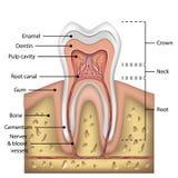 Ząb anatomii infographics Realistyczny Biały zębu Mockup Oralny opiek zdrowie pojęcie Medyczny sztandaru lub plakata wektor Fotografia Royalty Free
