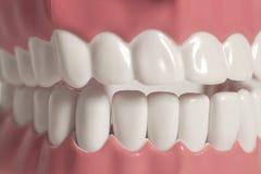 Ząb anatomii modela zakończenie up Fotografia Stock