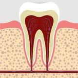 Ząb, dziąsło w przekroju poprzecznym Zębu korzenia cana royalty ilustracja