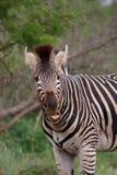 ząb zebra zdjęcia stock