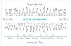 Zęby infographic 01 B-08 royalty ilustracja