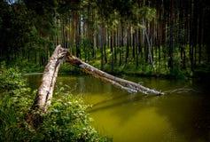 złamany drzewo Obraz Stock