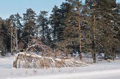 złamany drzewo Zdjęcia Royalty Free