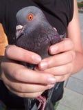 Złapana gołąbka w dziecka ` s ręce Fotografia Stock