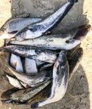 Złapana rzeki ryba kłama na piaskowatym brzeg Płoć, leszcz, żerdź i sum, Obrazy Stock