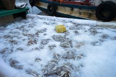 Złapane ryba konserwować lodem w Tac Cau połowu porcie, Ja Kong delty prowincja Kien Giang, południe Wietnam Zdjęcia Royalty Free