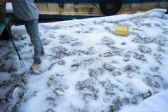 Złapane ryba konserwować lodem w Tac Cau połowu porcie, Ja Kong delty prowincja Kien Giang, południe Wietnam Zdjęcie Stock