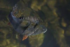 Złapany żerdzi ryba trofeum w wodzie Połowu tło zdjęcie royalty free