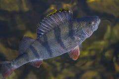 Złapany żerdzi ryba trofeum w wodzie Połowu tło zdjęcia stock