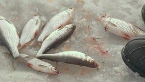 Złapany żywej ryba lying on the beach na lodowym jeziornym łapaniu na zima połowu zakończeniu up zdjęcie wideo