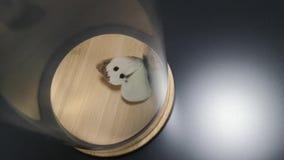 Złapany biały motyl jest latający i bijący przeciw szklanej ścianie w szklanym słoju Pojęcie bezowocność wysiłek zbiory