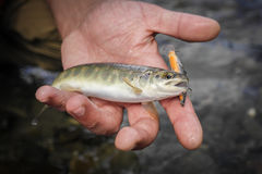 Złapany dziki pstrąg w halnej rzece Zakończenie Fotografia Stock