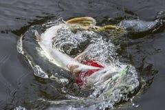 Złapany szczupak ryba trofeum w wodzie z chełbotaniem Połowu tło obrazy royalty free