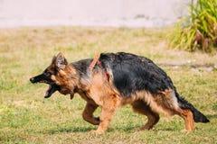Złości Niemieckiej bacy dorosłego Agresywny długowłosy pies, owczarek niemiecki Obraz Stock