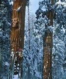 Złożony wizerunek rodowitego amerykanina indianin stawia czoło pojawiać się na wysokich drzewach Obrazy Royalty Free
