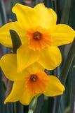 Złociści i Pomarańczowi Daffodils Obraz Stock