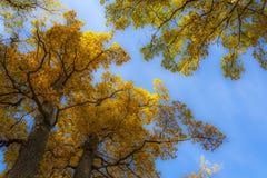 Złociści jesieni drzewa w parku Zdjęcia Stock