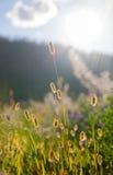 Złociści ucho w świetle słonecznym Obrazy Stock