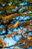 Złoci akacja liście w jesieni fotografia royalty free