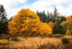 Złoci drzewa jesień zdjęcie stock