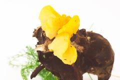 Złoci galaretowi grzyby dołączający nieboszczyk rozgałęziają się Zdjęcia Royalty Free
