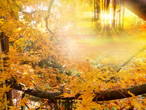 złoci jesień drzewa Obraz Royalty Free