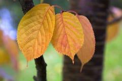 złoci jesień liść obrazy royalty free