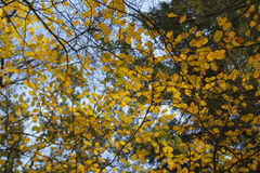 Złoci jesień liście przeciw niebieskiemu niebu zdjęcie royalty free