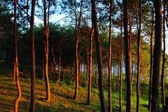 złoci lekcy sosnowi wzruszający drzewa Zdjęcie Stock