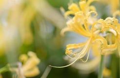 Złoci Lycoris kwiaty Zdjęcie Stock