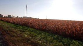 Złoci pola kukurudza zdjęcie wideo