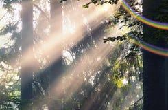 Złoci promienie świerkowy las Fotografia Royalty Free