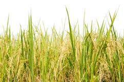 Złoci ryż Zdjęcia Stock