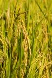 Złoci ryż na segregujący przygotowywający zbierającym w chłodno sezonie Fotografia Royalty Free