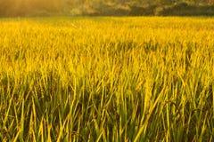 Złoci ryż na segregujący przygotowywający zbierającym w zmierzchu Obraz Royalty Free