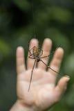 Złoci sieć pająka Nephila pilipes przed ręką, Malezja Zdjęcia Royalty Free