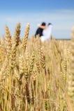 Złoci ucho na polu w tle nowożeńcy, su obraz stock