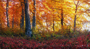 Złoci wysokogórscy lasy fotografia stock