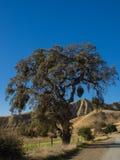 Złoci wzgórza z dębowymi drzewami Fotografia Royalty Free