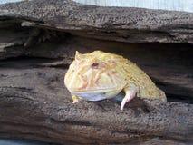 Złocista Argentyna Rogata żaba Fotografia Royalty Free