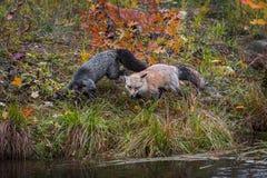 Złocista faza i Srebnego Fox Vulpes vulpes Przy krawędzią wyspy jesień obrazy stock