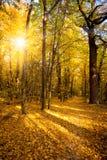 Złocista jesień z światłem słonecznym i sunbeams - Piękni drzewa w Obraz Stock