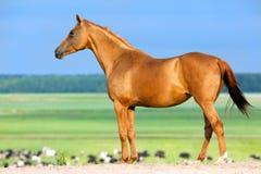 Złocista końska pozycja w paśniku. Obraz Stock