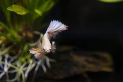 Złocista przyrodniej księżyc boju Syjamska ryba Zdjęcia Royalty Free