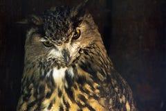 Złocista sowa na brown złocistym ciemnym tle Mądry sowa ptak daje advi zdjęcie royalty free