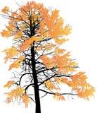 Złocistego spadku wielki drzewo odizolowywający na bielu royalty ilustracja