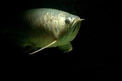 złocisty arowana underwater Obrazy Royalty Free
