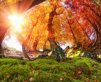 Złocisty bukowy las Obraz Stock