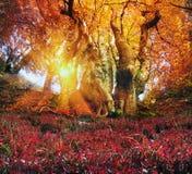 Złocisty bukowy las Zdjęcia Stock