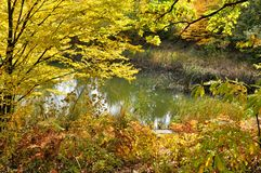 Złocisty jesieni i lasu jezioro zdjęcie royalty free